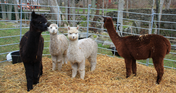 Bubbetorps Christmas Market - Cool Alpacas