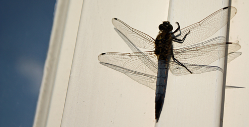 Living on the edge - fly with dragons. Dragonfly.