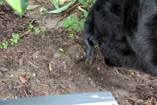 Tearing Up The Garden, A Dog And Her Bone