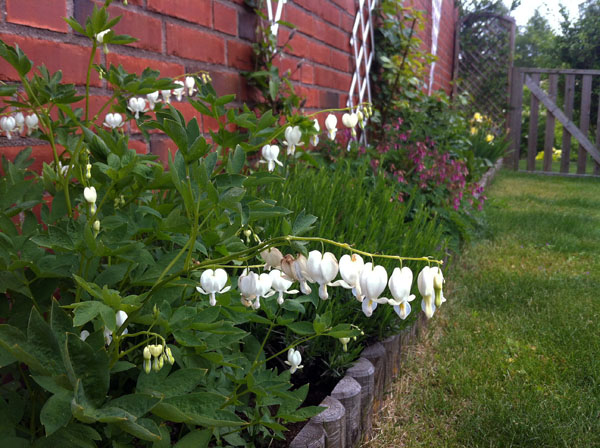 Surprising White Bleeding Heart In The Garden